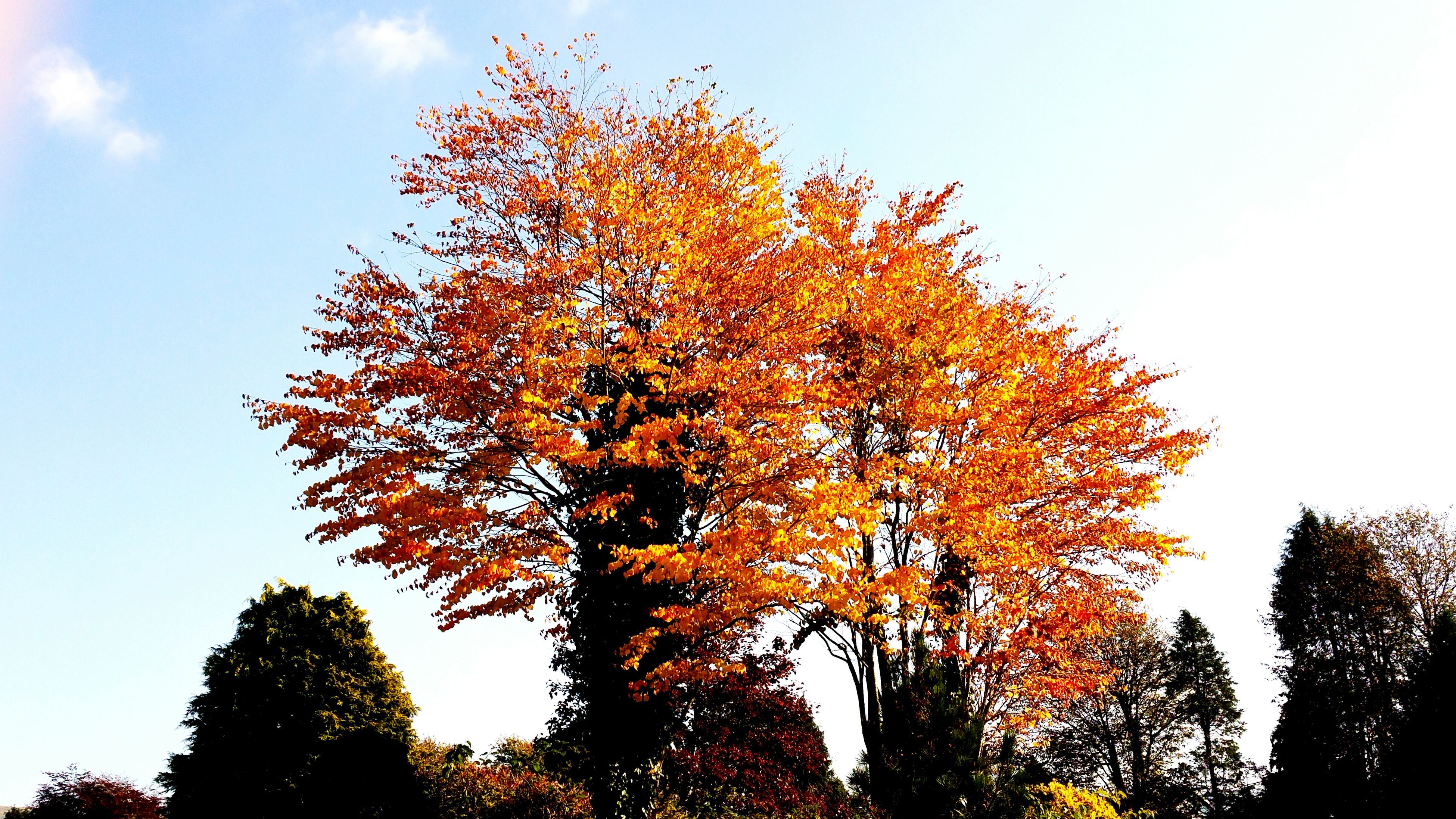 tree, autumn, change, low angle view, season, orange color, beauty in nature, growth, tranquility, clear sky, branch, nature, sky, scenics, tranquil scene, outdoors, no people, day, idyllic, non-urban scene