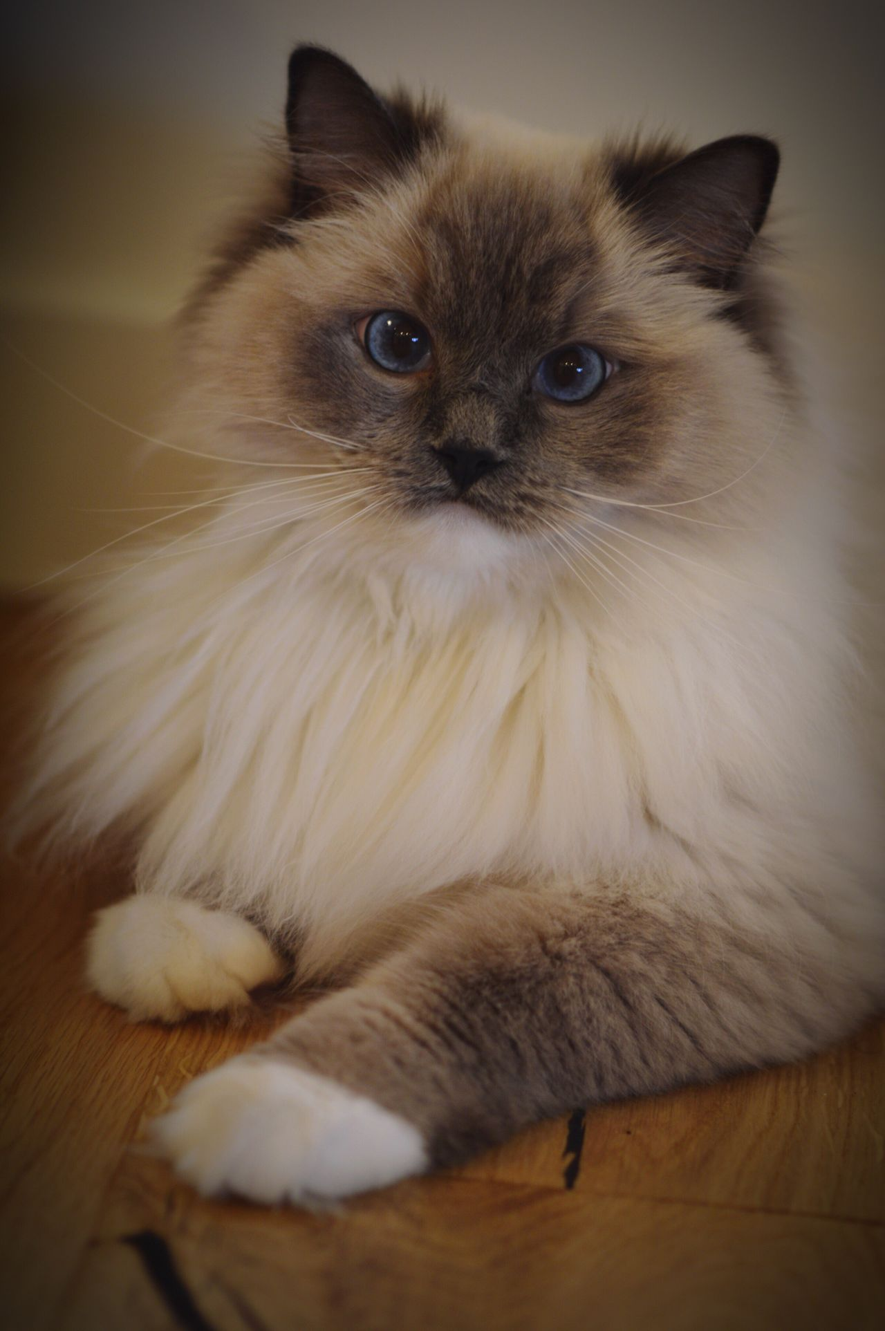 Pets Domestic Animals Domestic Cat One Animal Feline Whisker Portrait Ragdoll Cat Coffee Color Coffee Colour Beige Tones Beige Beige And Blue