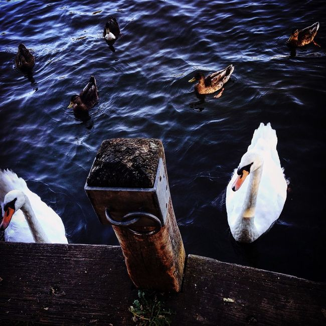 Dark waters on a bright day Nature Swan Stormy Water Polarity River Thames Tranquility First Eyeem Photo