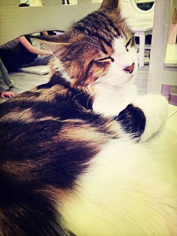 Mr.Boso Mainecoon Cat Relaxing Take Photos