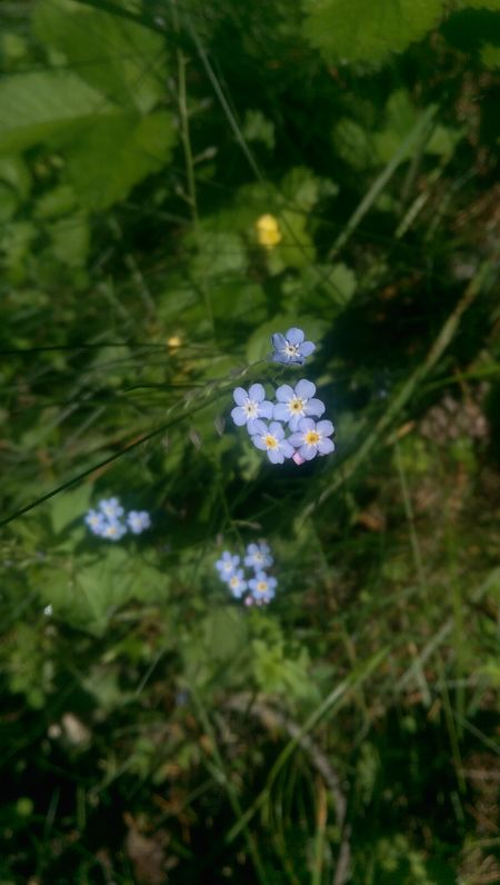 Forget me not Flower Nature Fragility Beauty In Nature Plant Outdoors Day No People Green Color Close-up Flower Head Forgetmenot Growth Bulgaria Bansko Wildflower Bulgarian Nature EyEmNewHere Plant Freshness Pirin National Park