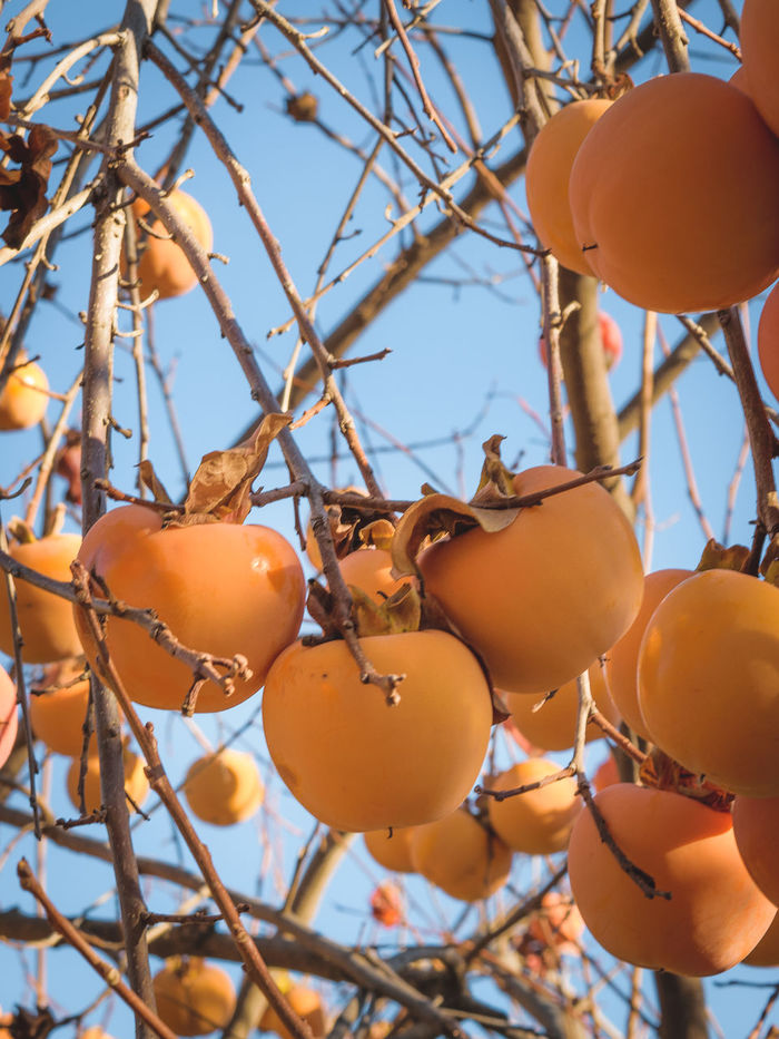 Beauty In Nature Blue Sky Branch Close-up Day Fall Food And Drink Freshness Fruit Growth Hanging Harvest Season Healthy Eating Low Angle View Nature Orange Color Organic Gardening Outdoors Persimmon Produce Tree Agios Ioannis Abundance Persimmons Kaki Fruit
