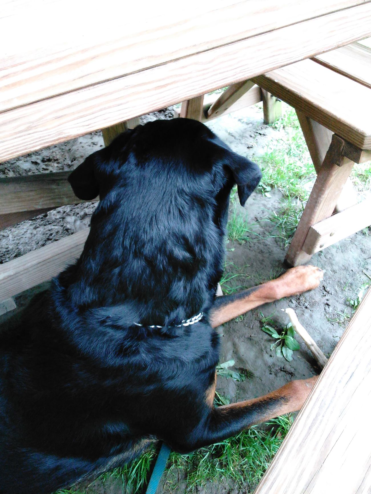 Favorite place under picnic table watching and listening for cars coming up road.. Check This Out My Favorite Photo My Buddy Caesar Canine Companion Dogs Of EyeEm Rottweilerlife Rottweilerlove Rottweiler Relaxing Was Sleeping Dog Love Dogoftheday