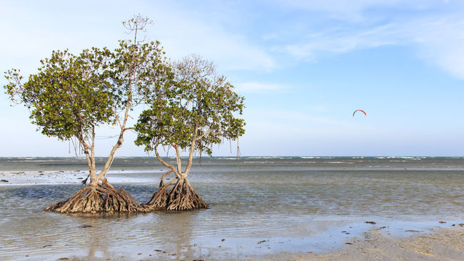 Mangroves on a beach of Puerto Princesa, Palawan in the Philippines ASIA Asian  Beach Beauty In Nature Calm Coastline Distant Growth Horizon Over Water Majestic Mangroves Nature Non-urban Scene Philippines Scenics Sea Seascape Single Tree Sky Tranquil Scene Tranquility Tree Vacations Water Waterfront