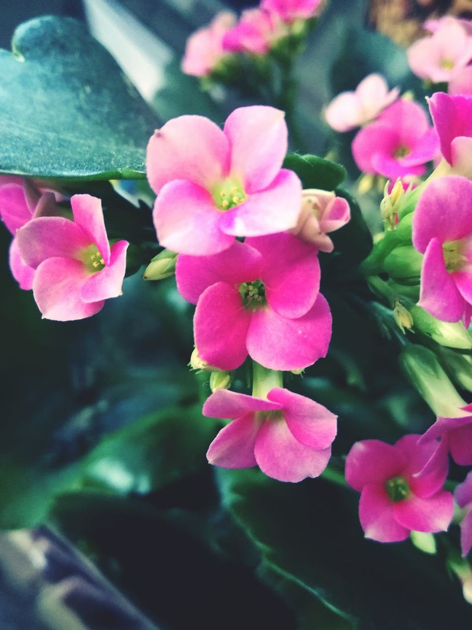 Kalanchoe Flower Fragility Freshness Petal Pink Color Beauty In Nature Nature Growth Flower Head Close-up Plant Blooming No People Day Hanging Out Enjoying Life Relaxing