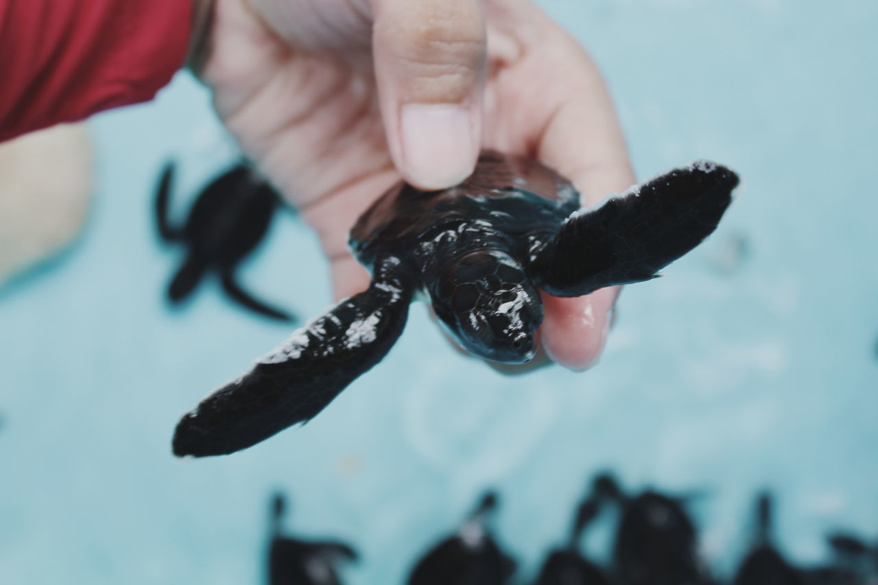 human hand, holding, animal themes, human body part, animal wildlife, real people, one animal, focus on foreground, animals in the wild, close-up, one person, water, outdoors, day, reptile, bird, sea life, nature, people