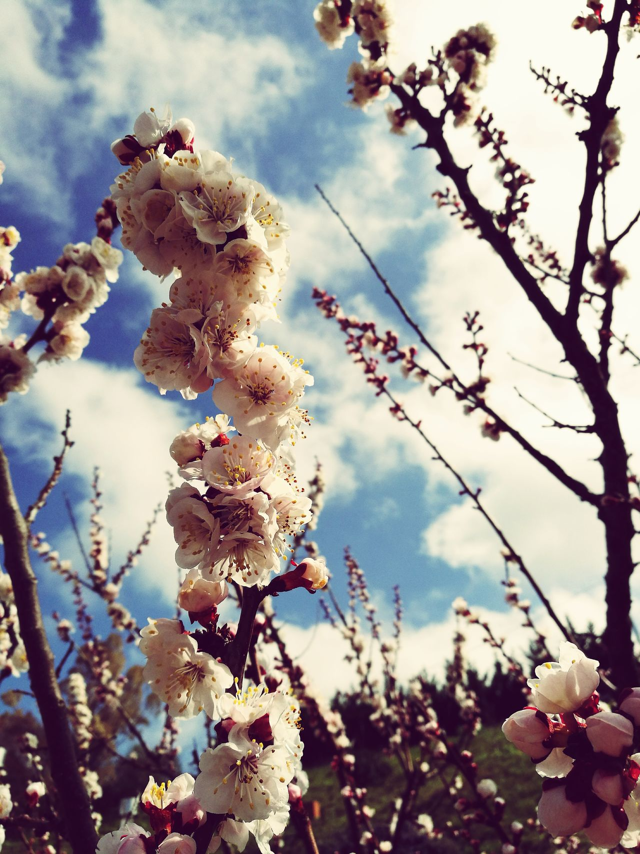 Nature Sunlight Growth Beauty In Nature Cloud - Sky Tree Blossom Flower Freshness Apricot Tree Apricotflower No People Pink Color Scenics
