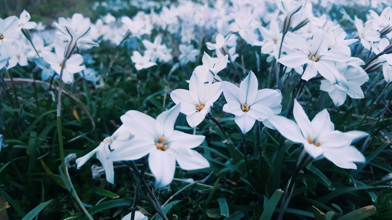 flower, white color, petal, growth, fragility, beauty in nature, nature, blooming, flower head, day, freshness, outdoors, no people, high angle view, plant, periwinkle, close-up