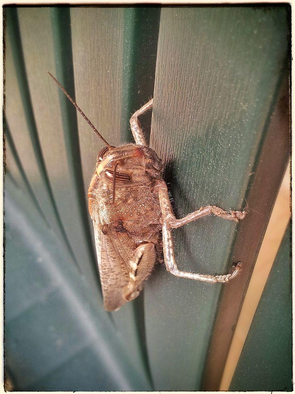 Grasshopper Locust Monster çekirge