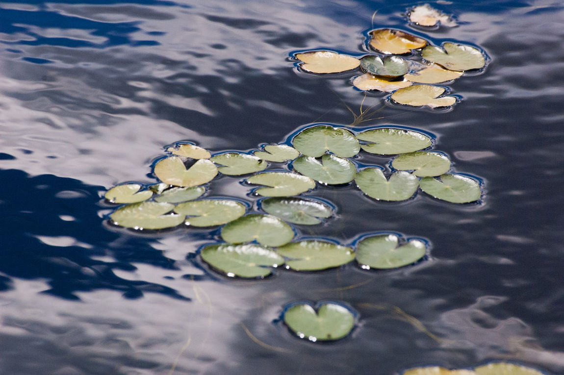 Close-up Day Floating On Water Green Color Leaf Nature Nenuphar Outdoors Reflection Standing Water Water Water Surface Waterlily