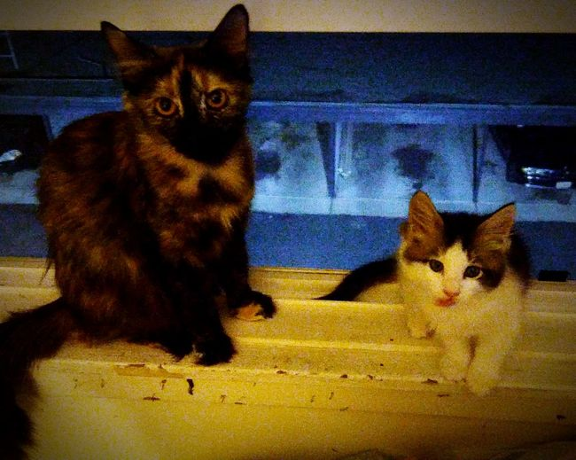 The Eyes Have it. Olivia and and lil firecracker ....Hanging Out Taking Photos Check This Out Cheese! Hi! Hanging Out Hello World Animals Bayareaphotography Catsoftheworld Catlovers Gingersrule Pawsome Ok