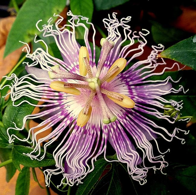 Beauty In Nature Blooming Close-up Flower Flower Head Nature Outdoors Plant Purple Colour Of Life Colour Of Life,