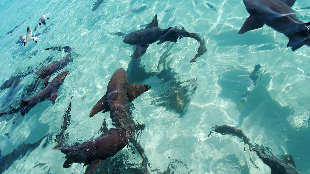 Underwater Water Swimming UnderSea Scuba Diving Sea People Snorkeling Swimming Pool Outdoors Sea Life Day Nature Adult Only Men Vacations Exuma Travel Destinations Tourism Tropical Animals In The Wild Animal Themes Nurse Shark Sharks Shark