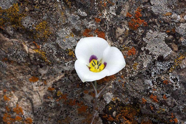 Rare Bruneau Mariposa Lily in Montana Wildflower Mariposa Lily