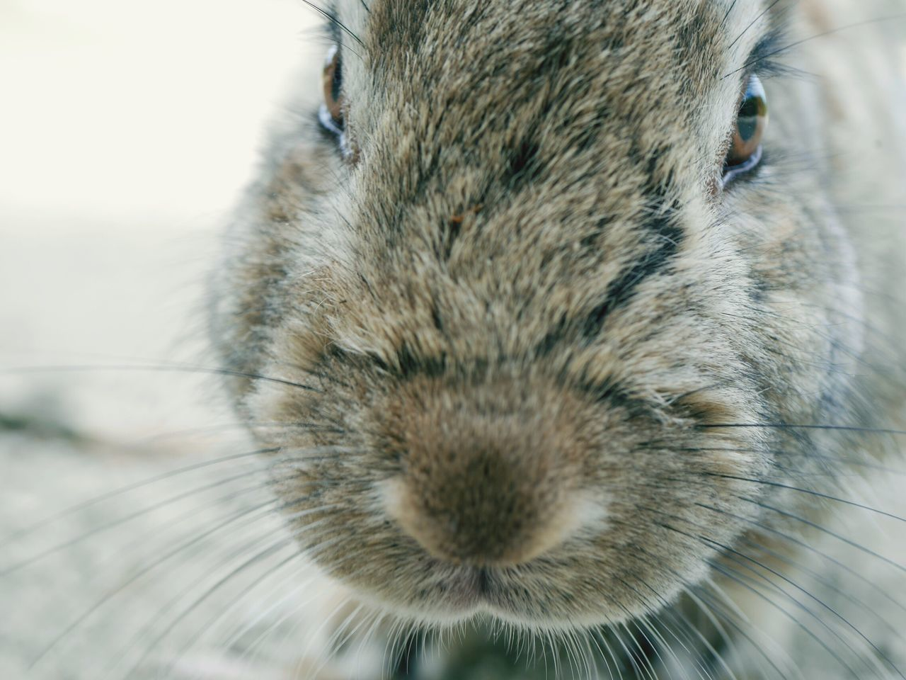 Animal Wildlife Animals Animal Animals In The Wild Animal Themes Nature Nature_collection Beauty In Nature Beautiful Nature Nature Photography Rabbit ❤️ Animal Photography Rabbits Rabbit Rabbits 🐇 Animal Head