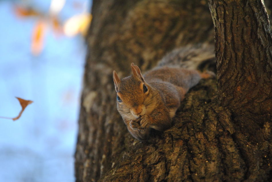 Beautiful stock photos of squirrel, Alert, Animal Themes, Animals In The Wild, Close-Up