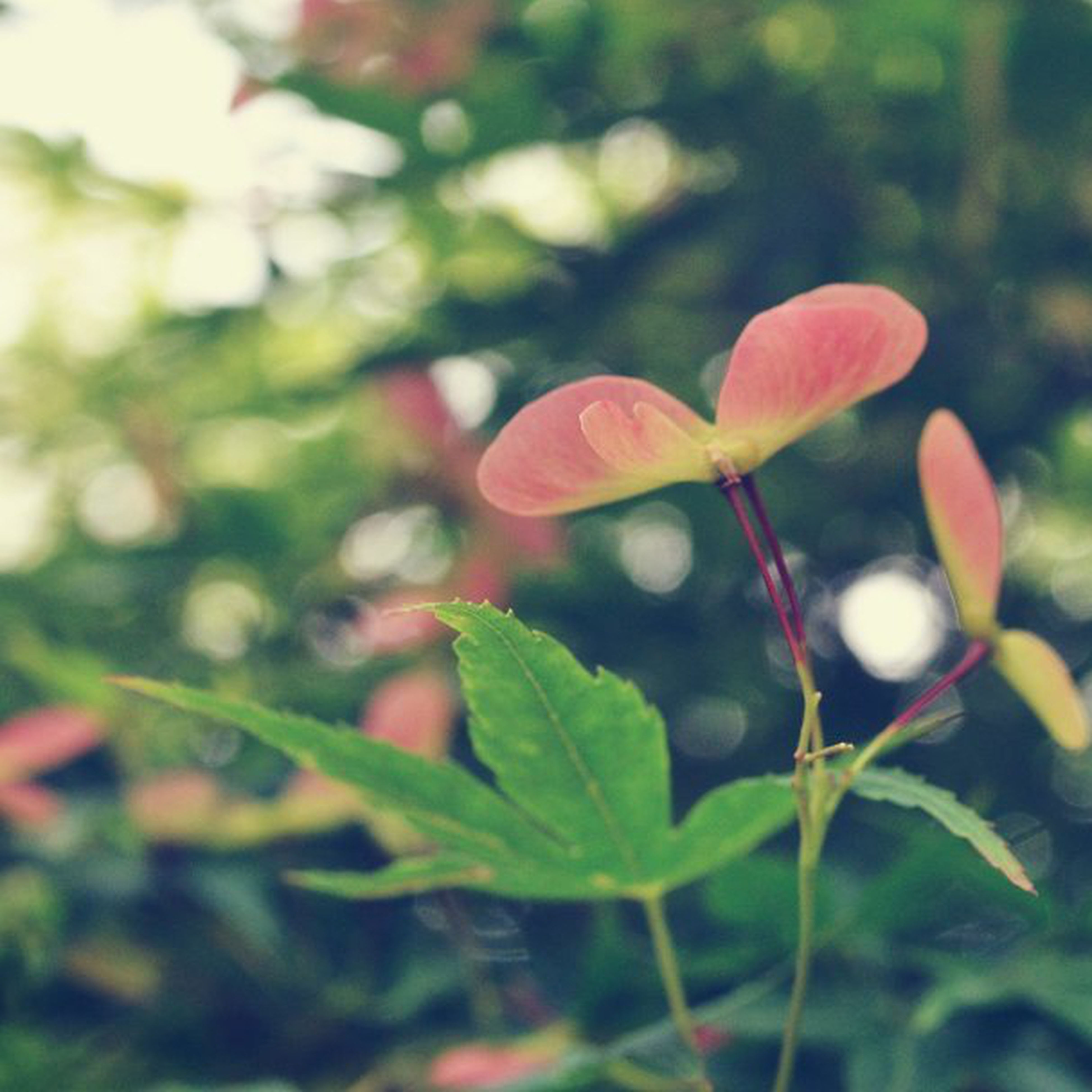growth, focus on foreground, plant, close-up, freshness, red, leaf, nature, flower, beauty in nature, fragility, selective focus, green color, bud, stem, day, new life, outdoors, no people, beginnings
