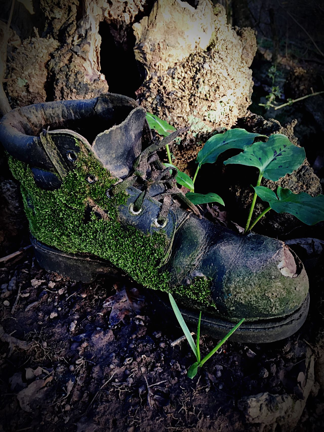 Old Old Boots Old Boot Boot Discarded Moss Discarded Stuff Rubbish IPhone Photography Iphone6 Iphonephotography IPhone IPhoneography Decay Abandoned Outdoors