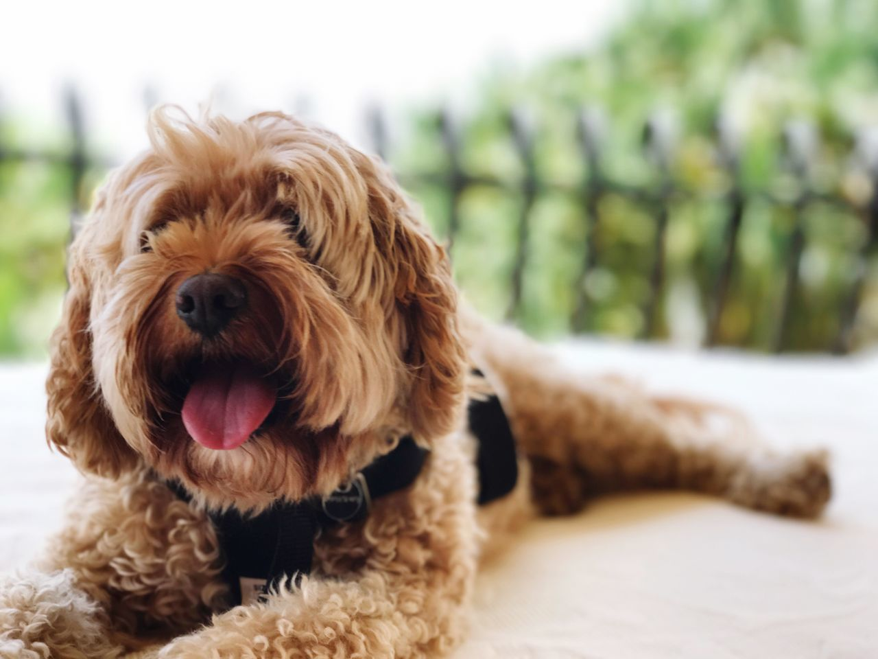 Dog Pets Domestic Animals Dog One Animal Animal Themes Focus On Foreground Mammal Close-up No People Day Nature Outdoors poodle Cavoodle