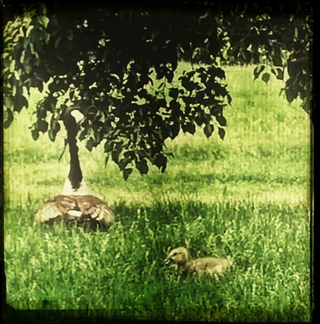 Mother Goose and Lil' One. Snapseed Geece Urban Nature City Life
