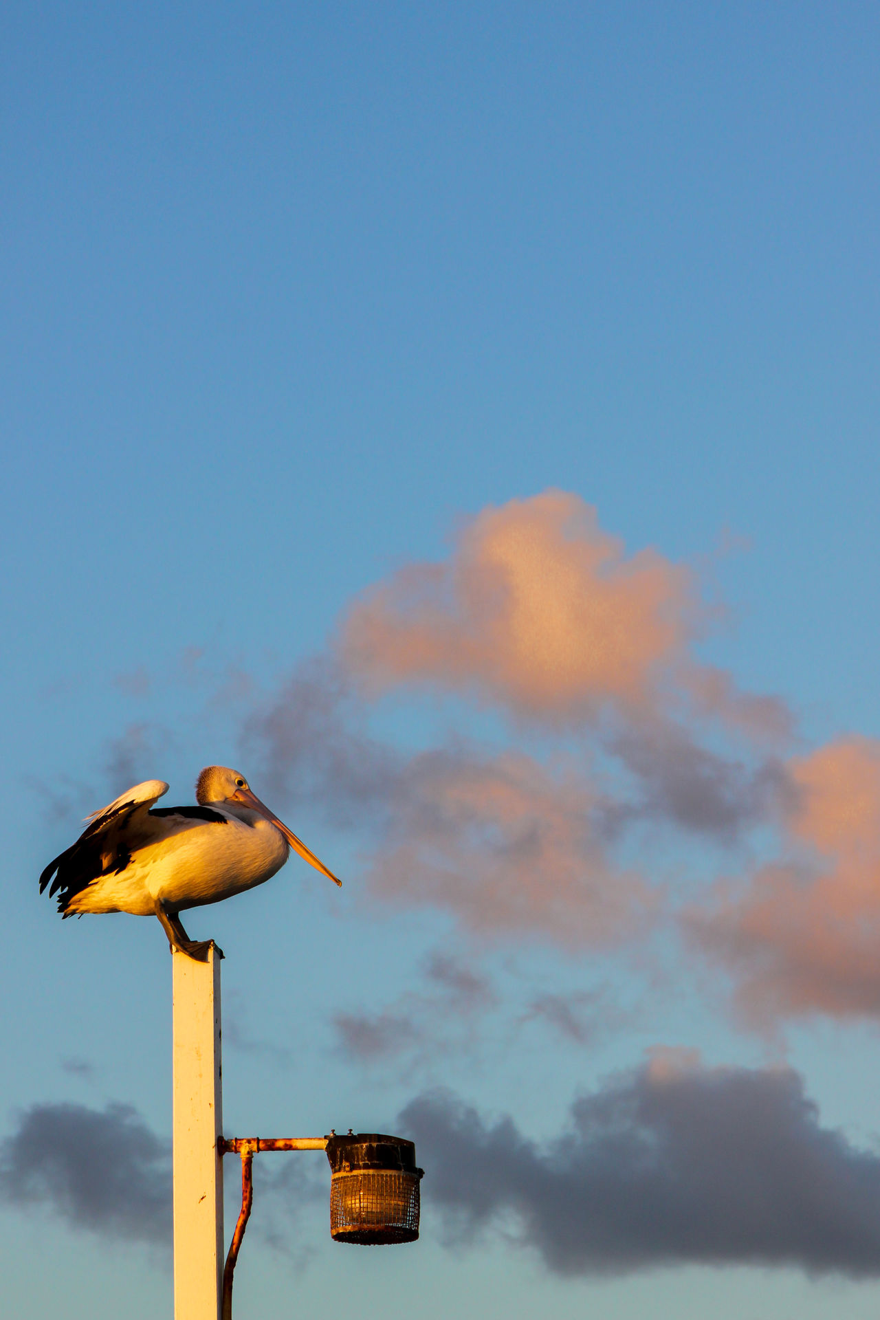 A pelican perches on a pole Animal Themes Animal Wildlife Animals In The Wild Beauty In Nature Bird Blue Clear Sky Close-up Day Low Angle View Nature No People One Animal Outdoors Pelican Perching Sky Wooden Post