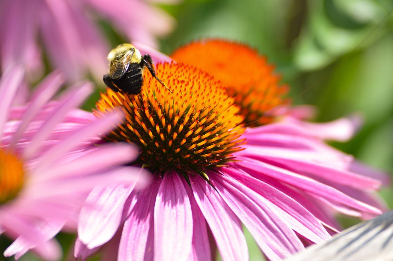 Honey Bees  HoneyBee Honey Bee Honeybees Enjoying The View Enjoying Life Enjoying Time Enjoying The Moment Enjoying The Sights Outdoor Photography Places I've Been Great View Great Outdoors NYC Photography Nature Capture The Moment Nature_collection Nature Photography Naturelovers Wild Pink Daisies Pink Daisies Pink Daisy Pink Flower Flower Flowers