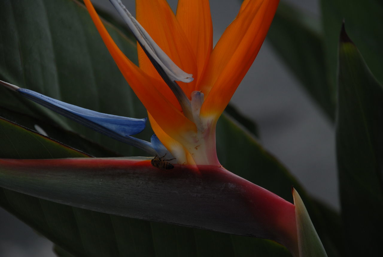 flower, orange color, petal, bird of paradise - plant, beauty in nature, nature, growth, fragility, flower head, freshness, no people, close-up, day, outdoors, animal themes