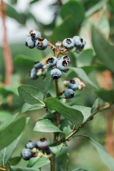 Fresh blueberries Farm Freshness Growth Raw Blueberry Bush Close-up Focus On Foreground Food Food And Drink Fresh Freshness Fruit Garden Growth Ingredient Juicy Nature No People Organic Outdoors Plant Recipe Ripe Summer