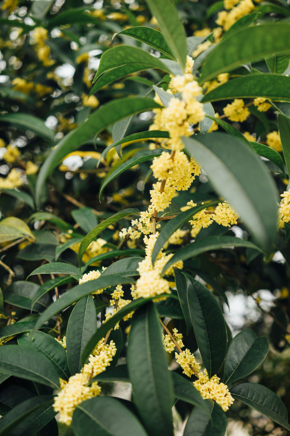 Beauty In Nature Bloom Blossom Close-up Day Flower Flower Head Fragility Freshness Green Color Growth Leaf Nature No People Osmanthus Osmanthus Fragrans Outdoors Plant Sweet Osmanthus Flower Yellow