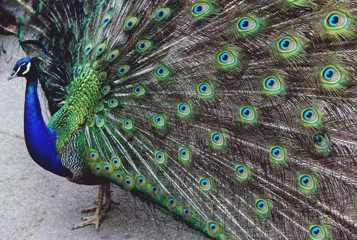 Amazing animal Barcelona Zoo Pavone Colors Colorful Grace Elégance Elegant Class Amazing Wonderful Animal Birds Animal Themes One Animal Nature