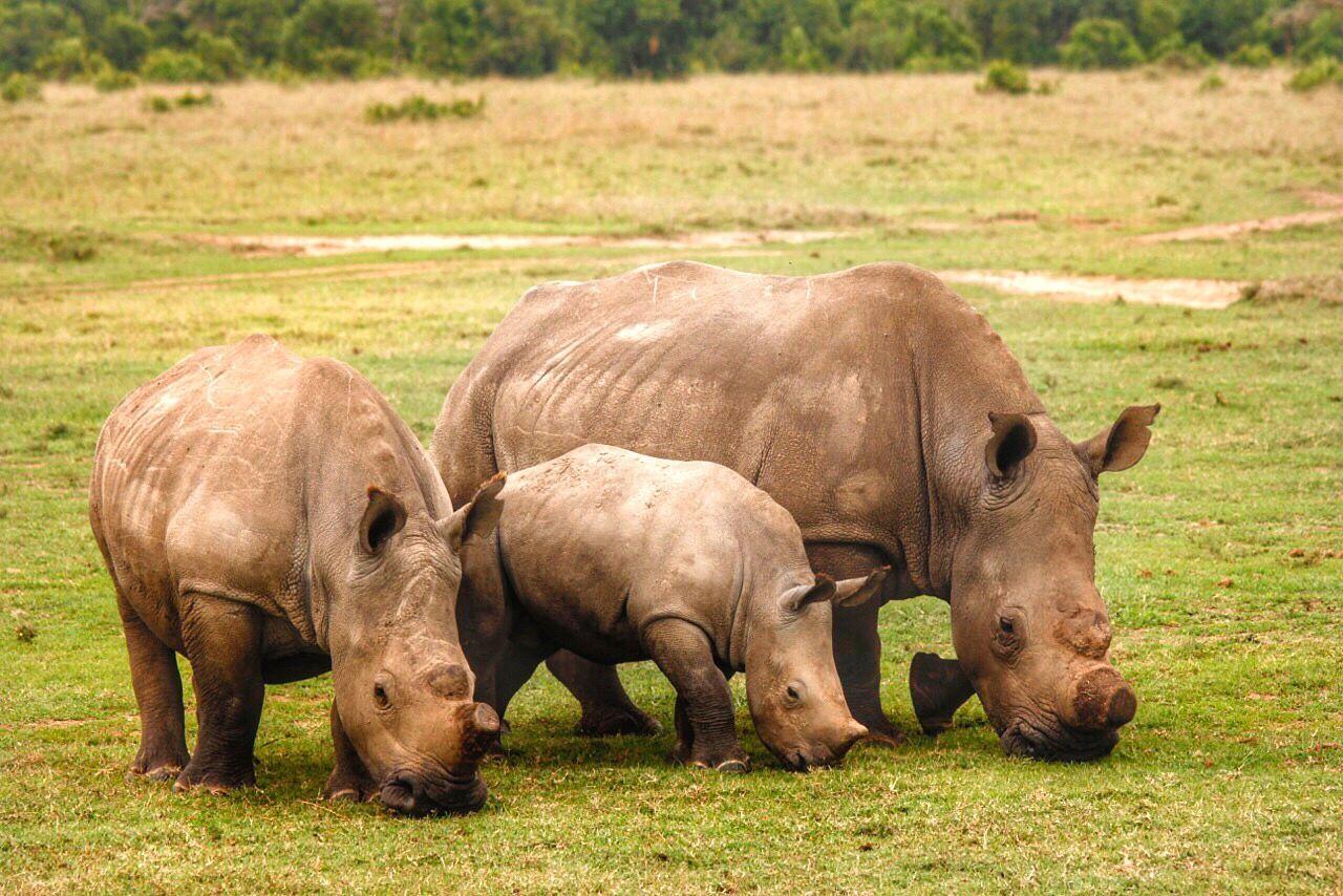 Rhinos Grazing On Grassy Field