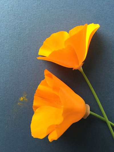 California poppies on blue Beauty In Nature Blooming Blue California Poppies Close-up Contrast Copy Space Filtered Image Floral Flowers Orange Color Petals Phone Camera Pollen Spring State Flower Stem Yellow