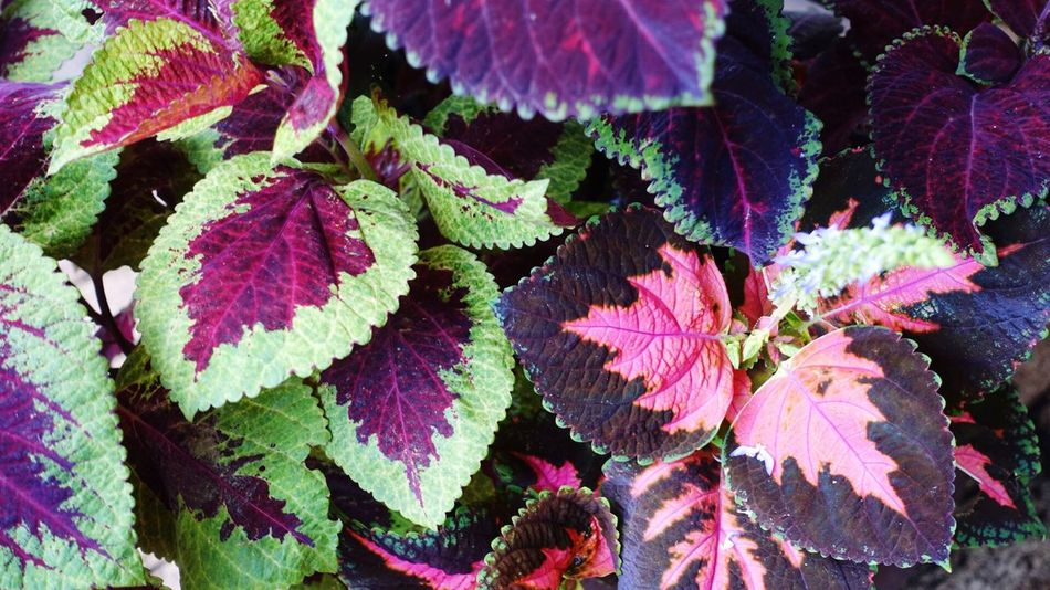 Plant Flower Fragility Nature Beauty In Nature Full Frame Growth No People Leaf Close-up Backgrounds Outdoors Day Freshness Home Grown Coleus Garden Pretty Color Leaves