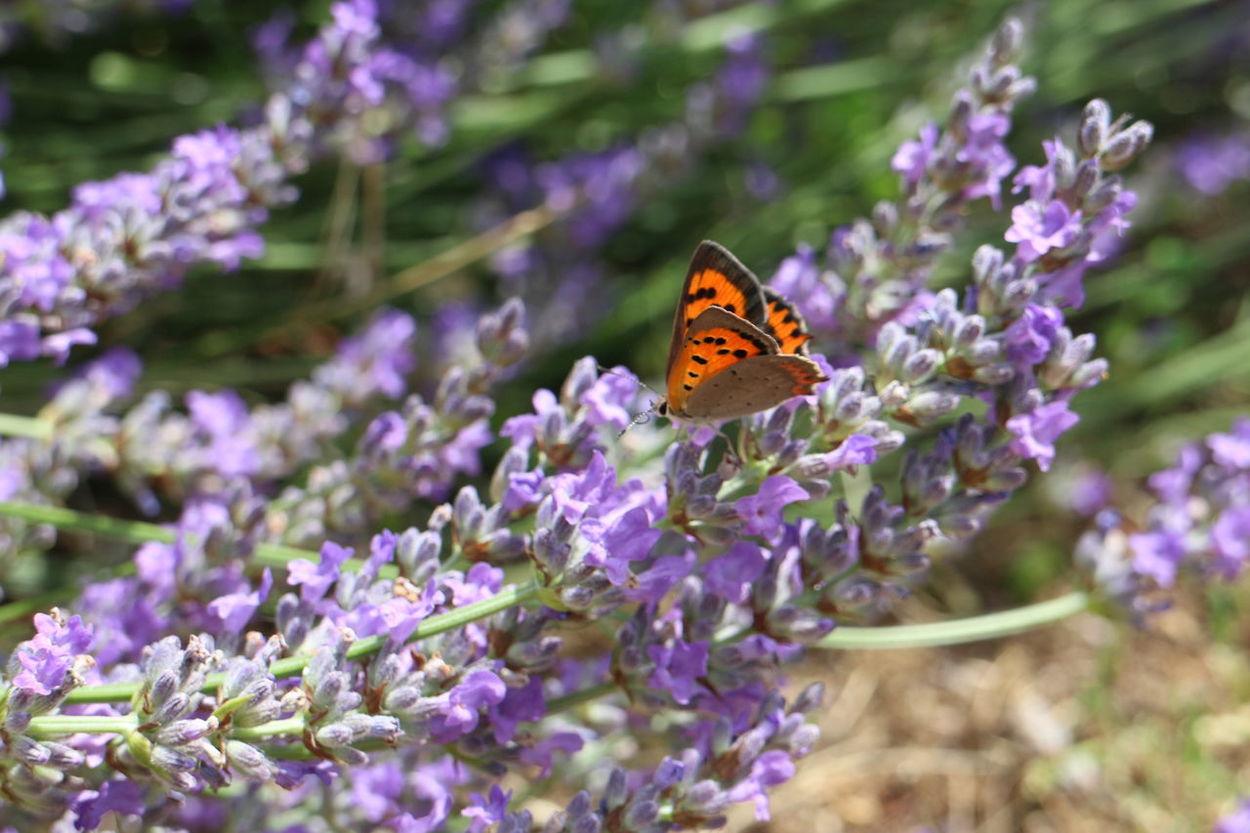 Lavander in home garden Beautiful Butterfly Colourful Croatia Croatia ♡ Flower Flying Garden Istria Lavander Lavender Nature Orange Purple Summer Sunny Day Wings
