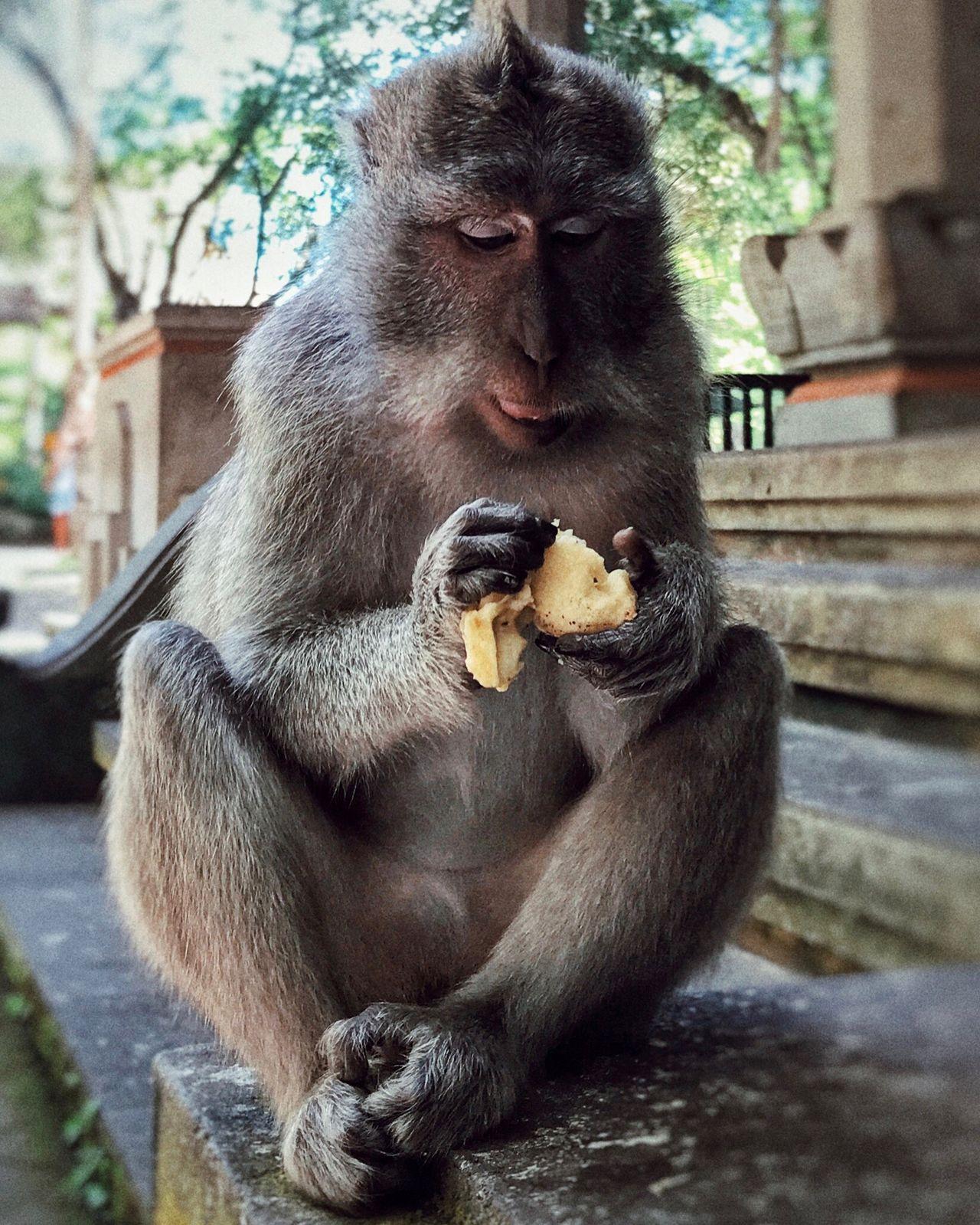 Miam miam 🐒🍌😋, monkeyforest ubud. Animal Themes Monkey Animals In The Wild Sitting Primate Nature Close-up Bali Ubud INDONESIA Picoftheday Banana Sweet