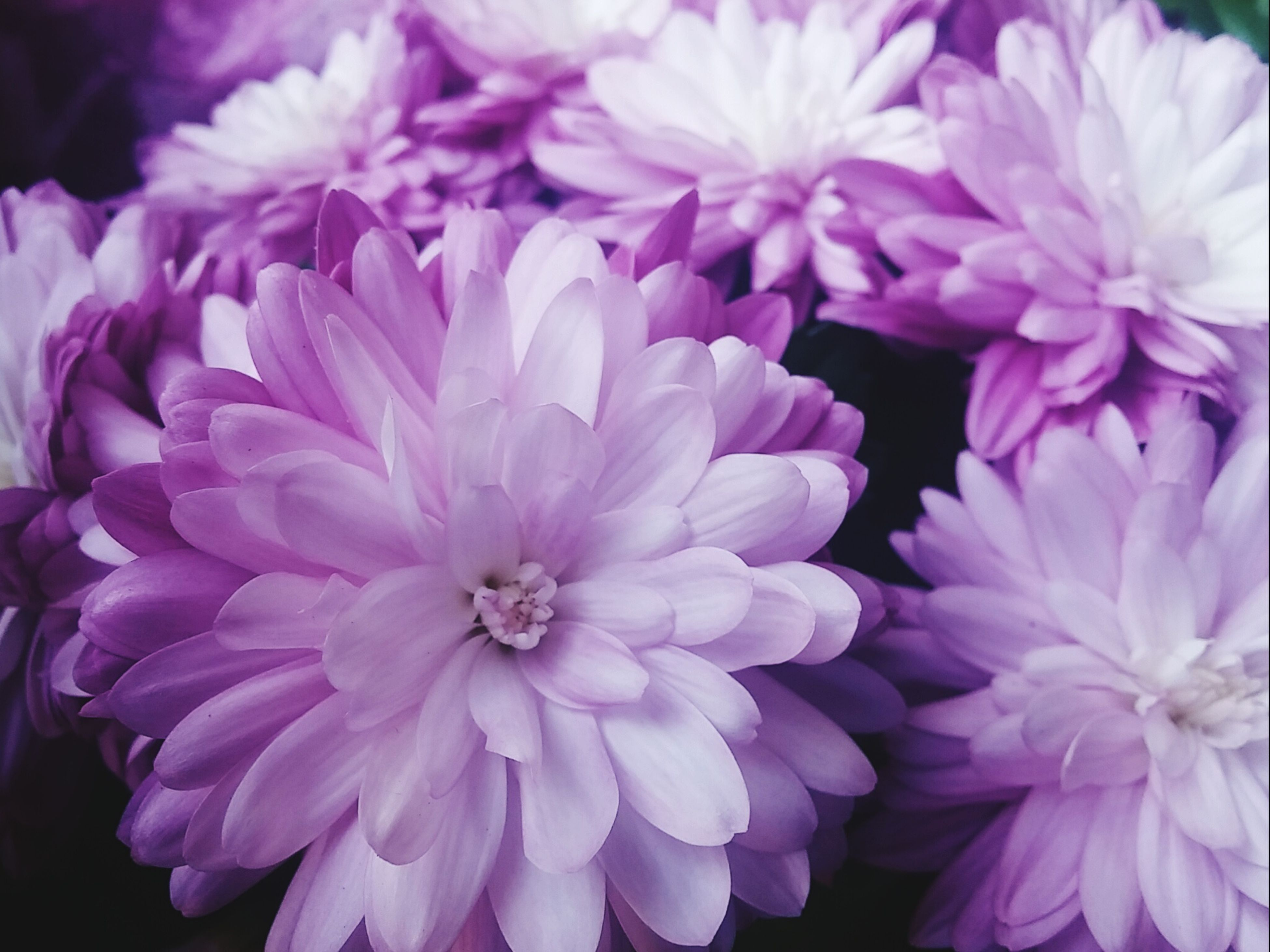 flower, freshness, petal, fragility, flower head, beauty in nature, close-up, growth, nature, pink color, blooming, plant, focus on foreground, high angle view, in bloom, no people, purple, blossom, outdoors, day