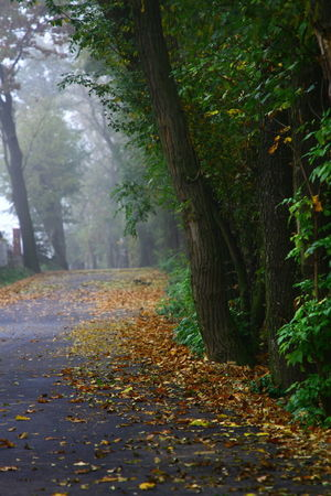 Foggy Autumn Morning Foggy Weather Green Trees And Leaves Road Yellow Leaves Autumn Beauty In Nature Change Day Dry Fog Foggy Autumn Day Foggy Morning Forest Green Trees Landscape Leaf Leaves Nature No People Outdoors Scenics Tranquility Tree Tree Trunk