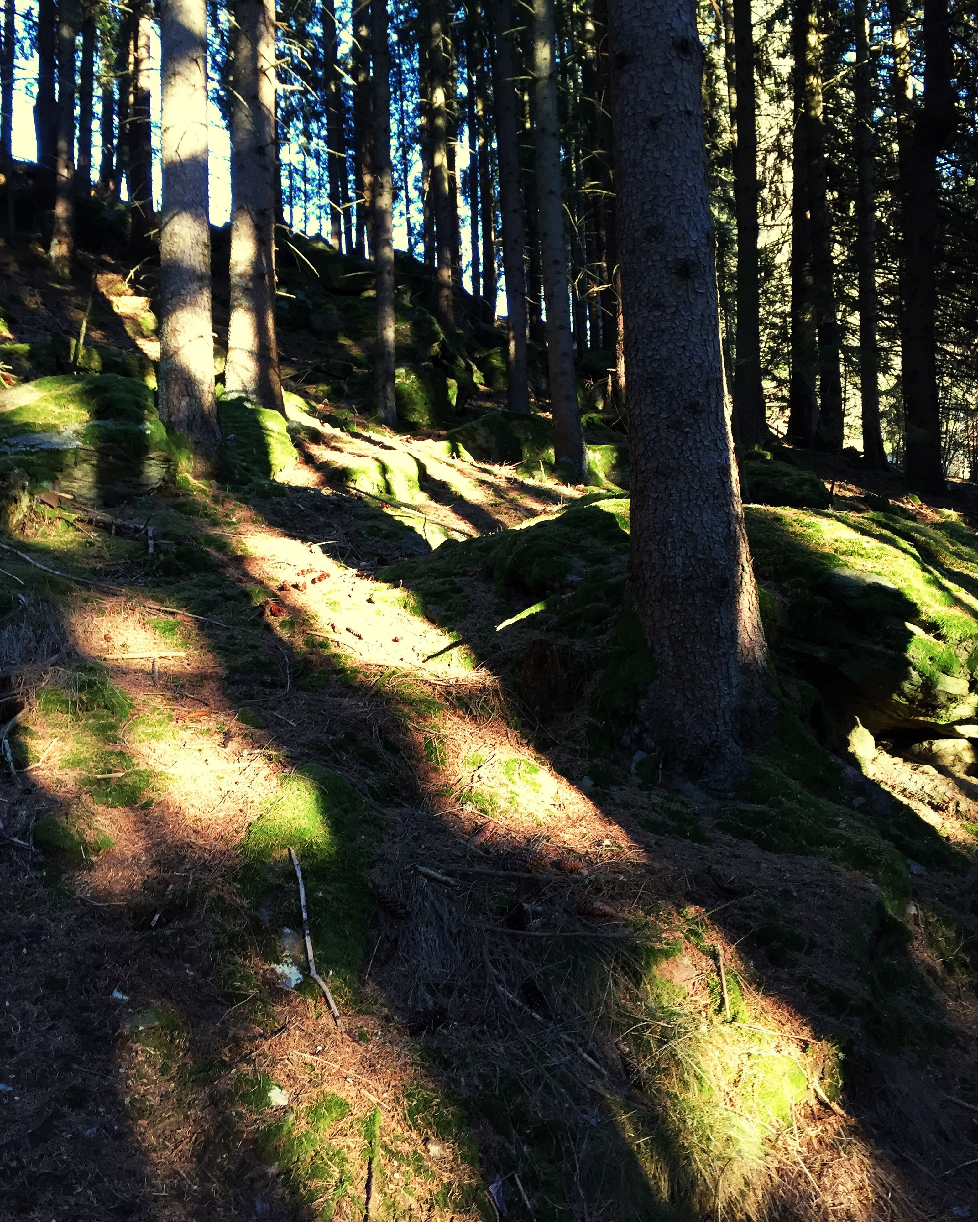 tree, tree trunk, tranquility, shadow, sunlight, growth, forest, tranquil scene, nature, woodland, grass, landscape, beauty in nature, scenics, non-urban scene, branch, day, field, outdoors, no people