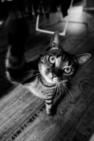 Animal Themes Black And White Cat Chat Coup De Patte Domestic Animals Domestic Cat Feline Freestyle Indoors  Le  LeChat Mammal Moth4fok Ninja No People Noir Et Blanc One Animal Oust Paparazzi Pets Punching The Thecat Whisker BYOPaper! The Street Photographer - 2017 EyeEm Awards The Photojournalist - 2017 EyeEm Awards The Portraitist - 2017 EyeEm Awards EyeEmNewHere Place Of Heart Let's Go. Together. EyeEm Selects Pet Portraits