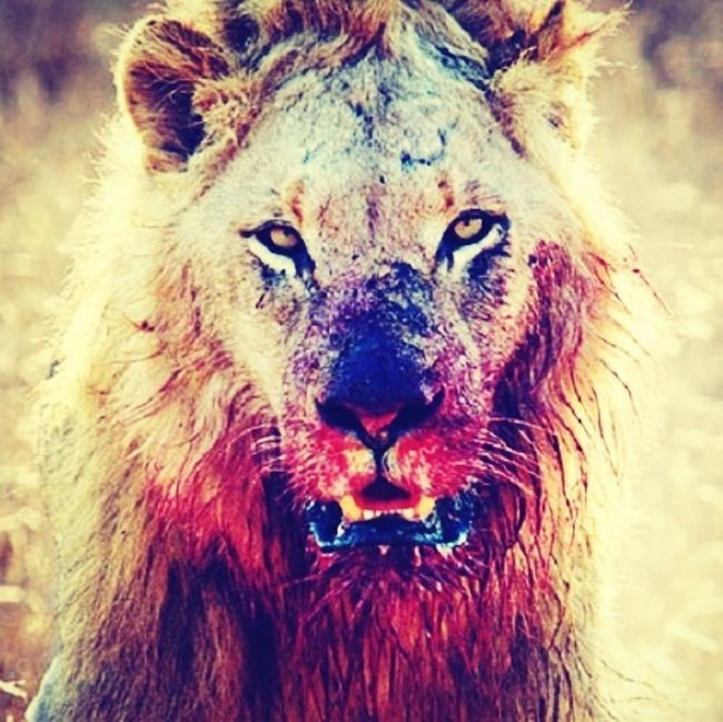 Gotta eat #lionhearted