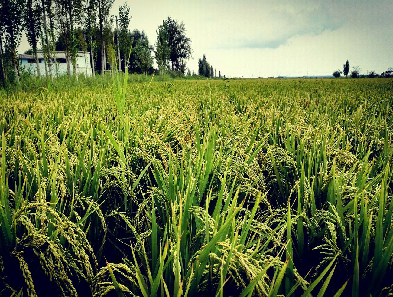 接近丰收 乌鲁木齐 米泉大米 agriculture view