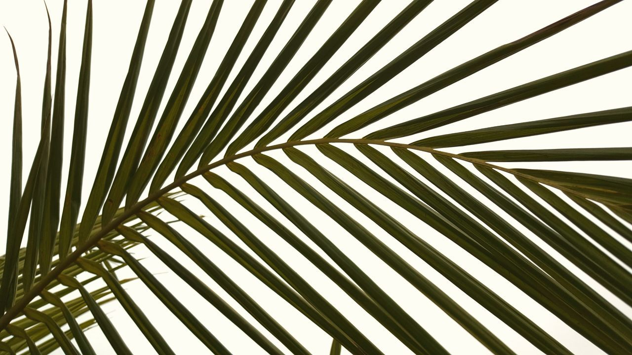 Palm Palm Leaves Stretched Out