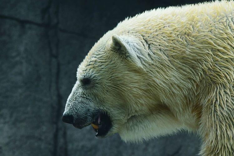 Tundra The Polar Bear Polar Bear Indianapolis Zoo Big Teeth We Will Miss You Going To Detroit! Animals RIP :(