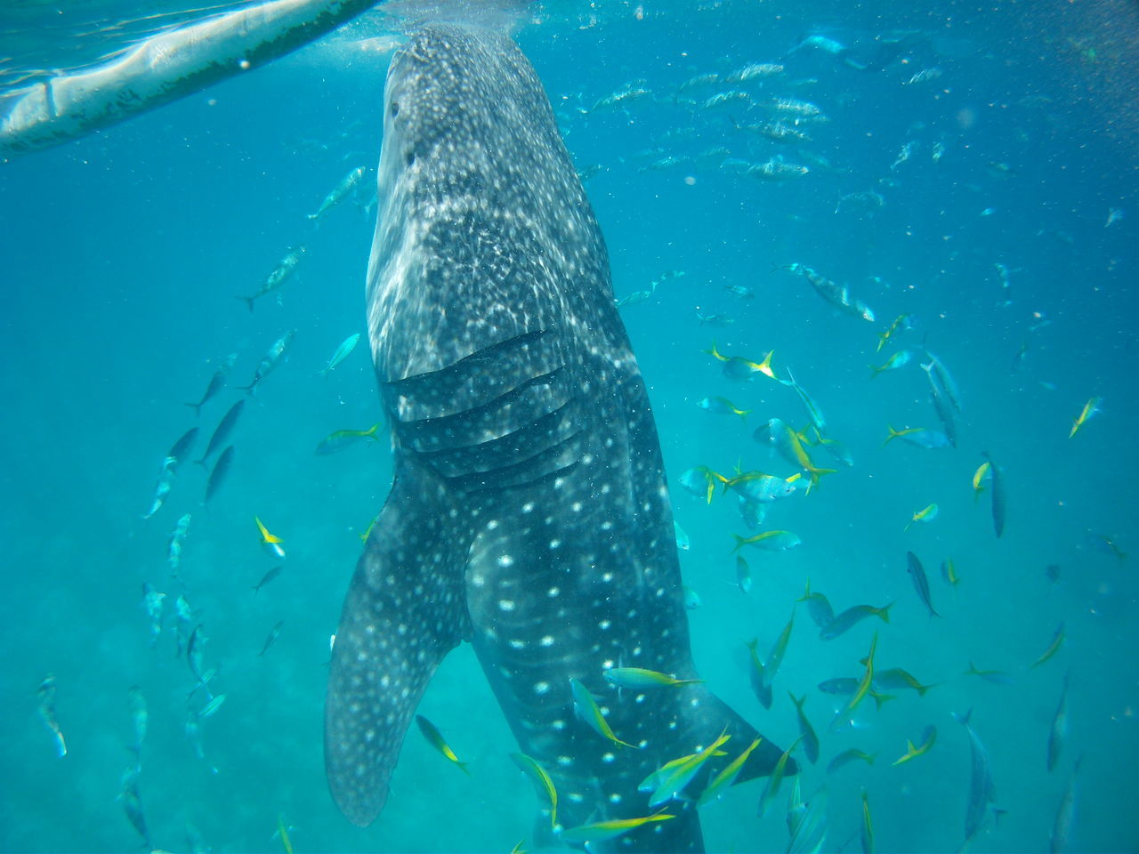 fish, whale shark, animals in the wild, animal themes, underwater, animal wildlife, swimming, large group of animals, undersea, sea life, day, nature, water, no people, outdoors