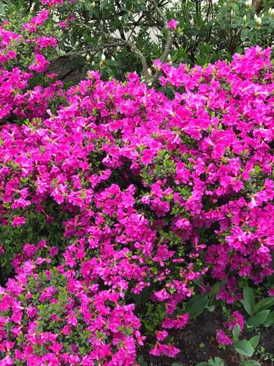 Flower Pink Color Growth Beauty In Nature Blossom Botany Fragility Freshness Nature Day No People Plant Outdoors Springtime Blooming Flower Head Fill Your Garden With Beauty My Escape Nature Big Azaleas Beauty In Nature Growth Blooming Flowers Spring Has Arrived Azaleas