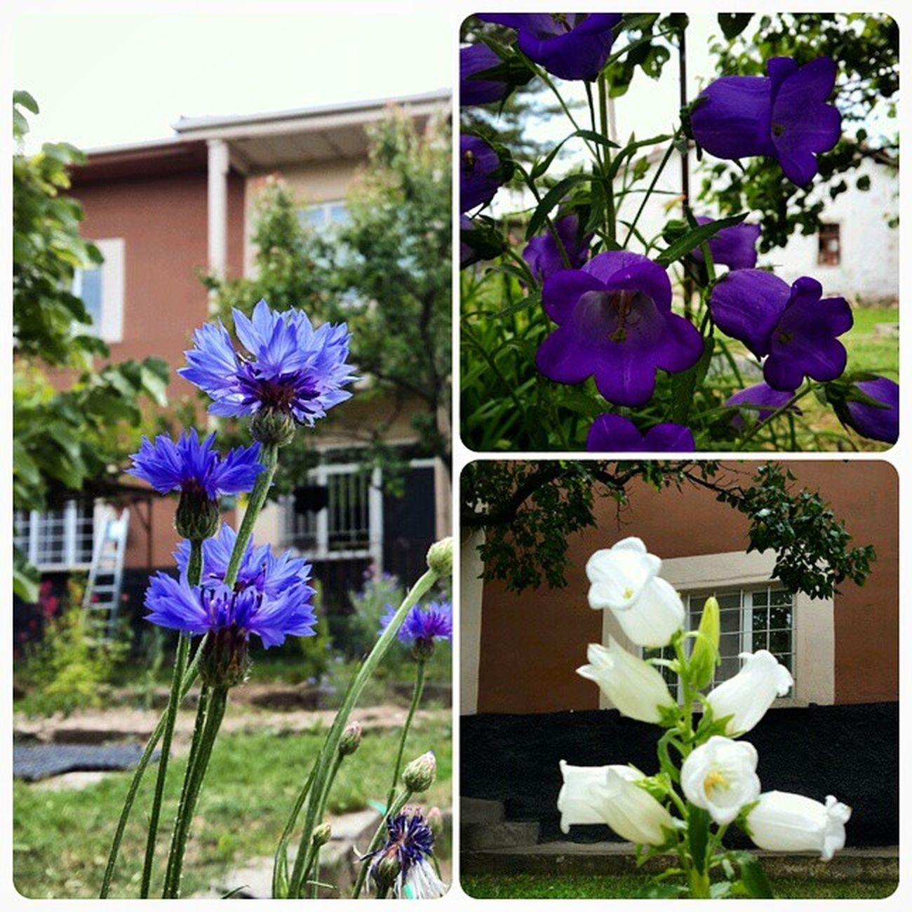 Kırşehir Mucur Memleket Bahce Cicekler Bardakçiçekleri