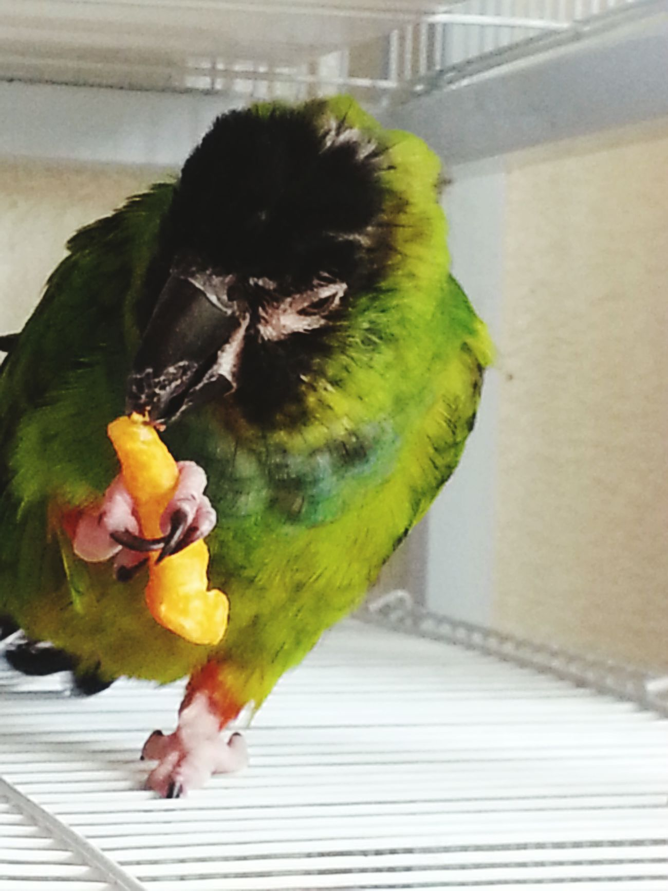 "Temecula, Pico, ""Parrots love Cheetos too"" Taking Photos Cheese! Birds🐦⛅ Bird Photography My Pets :)"