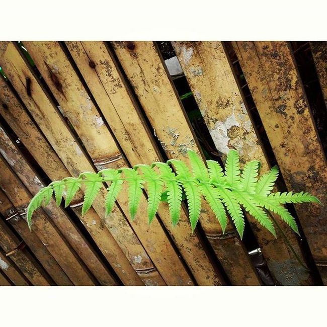 Daun Pakis di Pagar Bambu . Curup Sumatra