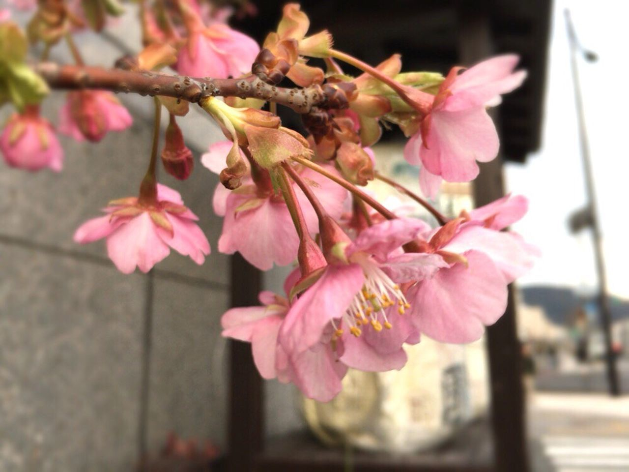 Kyoto,japan Kyoto Spling Sakura Cherry Blossom Kyoto City Kyoto Cherry Blossom Kyoto Sakura 2017 Kyoto Sakura Kyoto Spling Flower Cherry Blossoms Sakura 2017 February Cherry Blossoms February Sakura