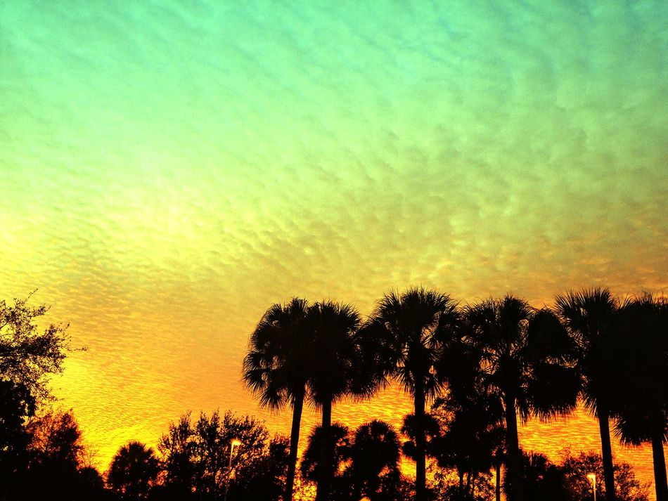 Sunset in Coconut Creek Sunset Beauty In Nature Nature Silhouette No People Sky Outdoors Tree Day Fiery Sunset Palm Trees Palm Tree Silhouette palm trees south Florida